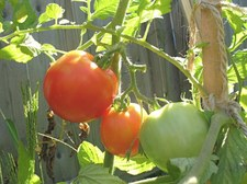 Thumbnail image for tomatoes on vine