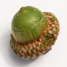 acorn macro