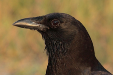 crow closeup