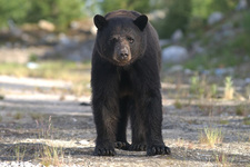 Thumbnail image for black bear