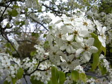 Thumbnail image for pear tree blossoms