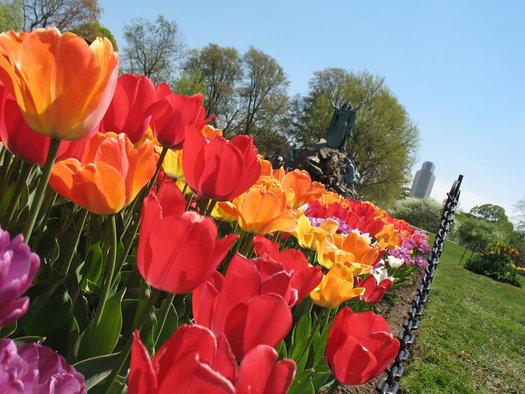 Washington Park tulips Moses Corning Tower