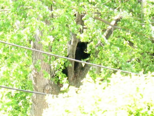 north greenbush bear