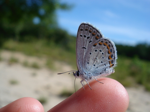 Karner Blue butterfly Albany Pine Bush