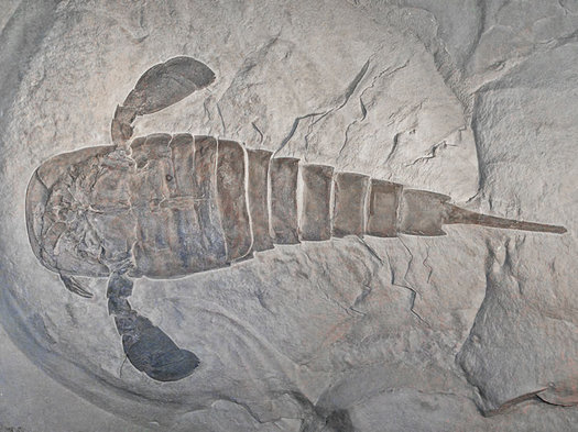 New York State fossil sea scorpion fossil