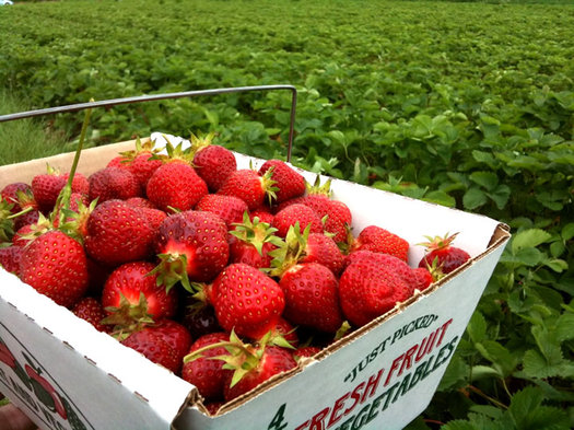 strawberries in box in strawberry field at samascott