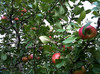 Thumbnail image for apples in tree at samascott 2011