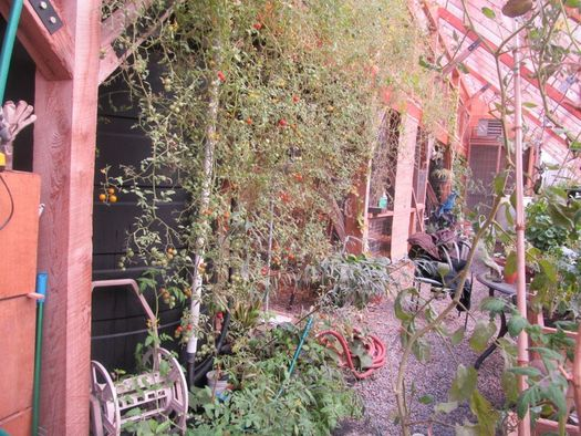 Radix Center tomato vines