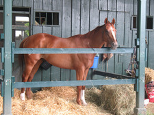 horse in stable at saratoga race course