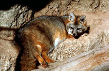 gray fox us fws