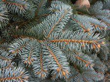 blue spruce branch needles