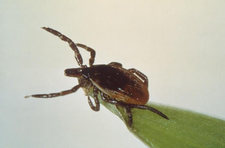 deer tick closeup cdc