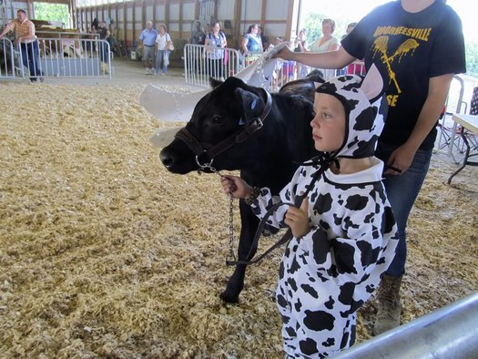 Altamont Fair 4H cow show