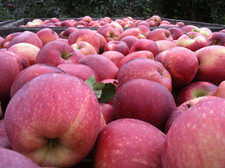 apples in bin in orchard at Samascott