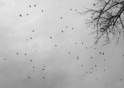 crows january sky 2014-01-13 bw
