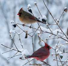 female and male cardinals by flickr user nosha