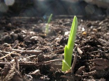 garlic shoot spring garden
