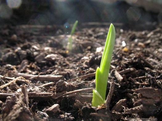 garlic shoot spring garden