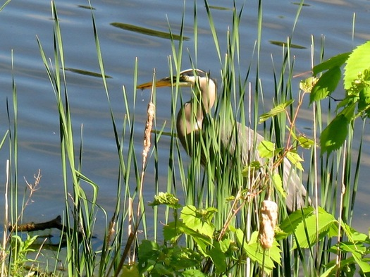 buckingham pond heron