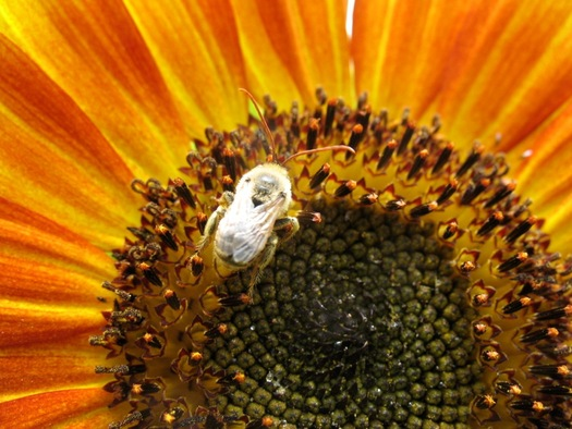 sunflower bee closeup