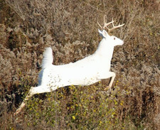 seneca white deer dennis money