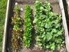 lettuce bok choy radishes in garden