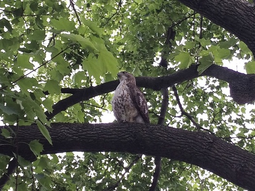 maybe a hawk of some sort