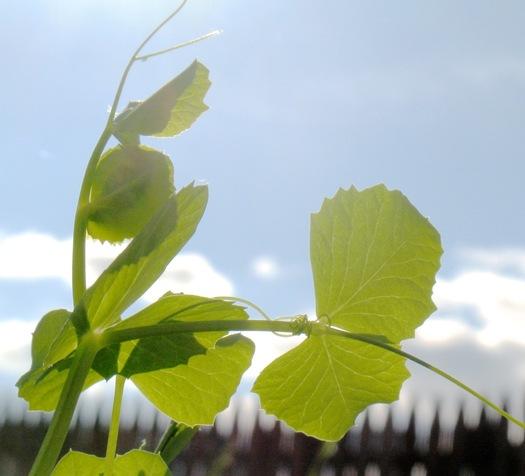 pea plant backlit
