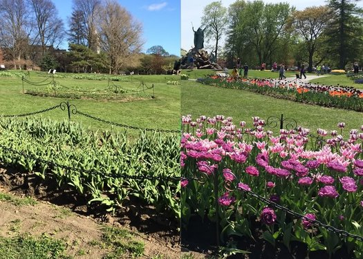 washington park tulips 2015 before after
