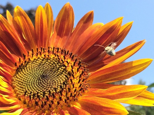august sunflower bee approaching