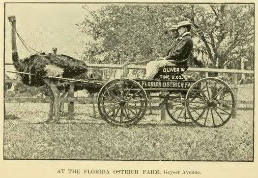 ostrich harness cart saratoga ostrich farm 1900