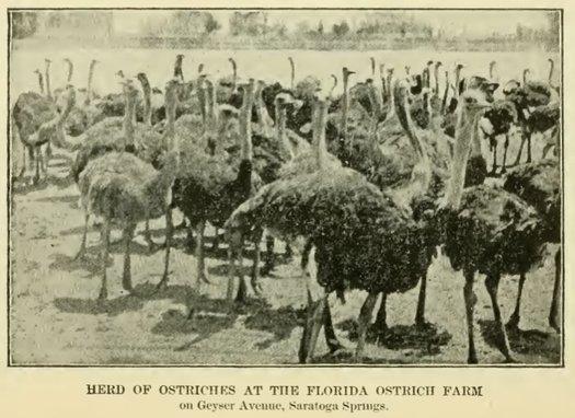 ostriches florida ostrich farm saratoga springs 1900