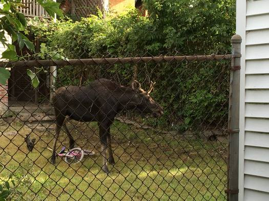 Lansingburgh moose NYS DEC