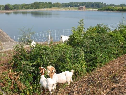 goats eating brush at loudonville reservoir