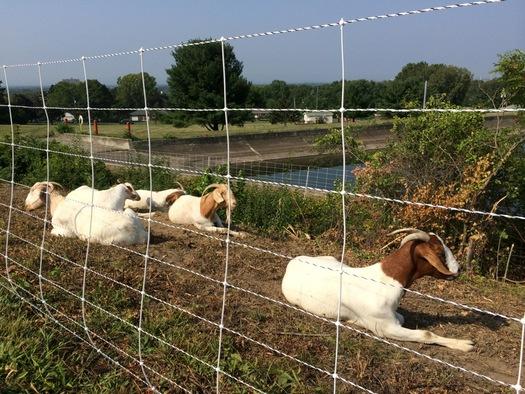 goats relaxing