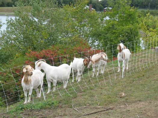 goats hanging out