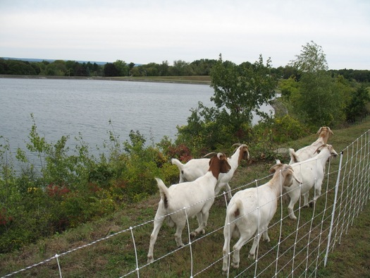 goats at the Loudonville Reservoir