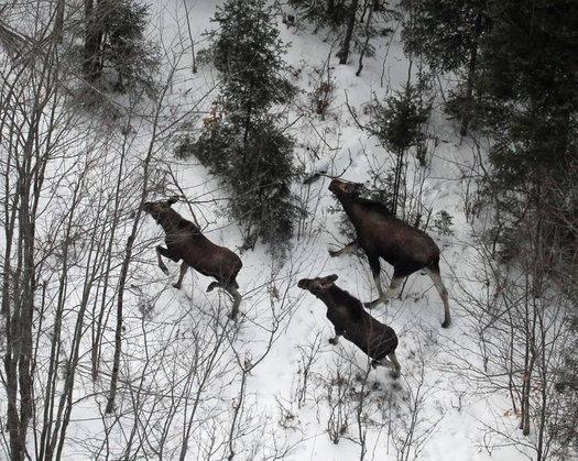 NYSDEC moose helicopter survey