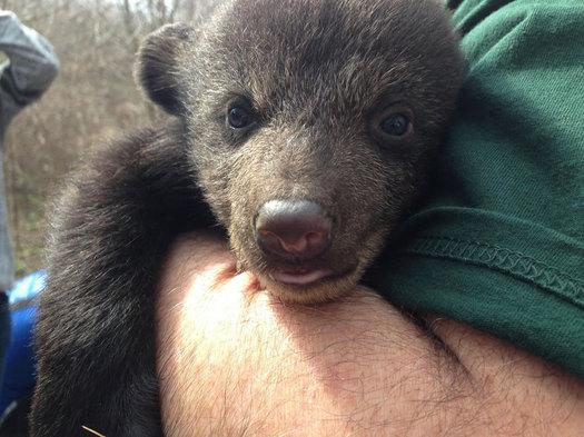 NYSDEC bear cub check-up Allegany State Park