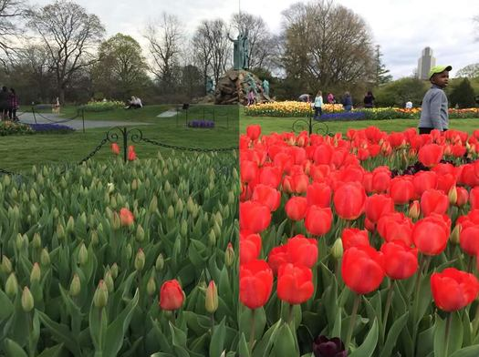 tulip2016 bloom before after static