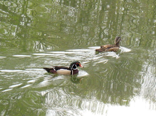 wood ducks in Washington Park