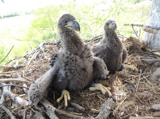 bald eagle chicks NYSDEC