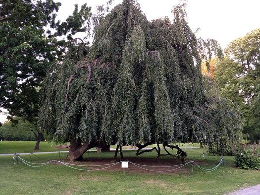 old weeping beech tree Washington Park