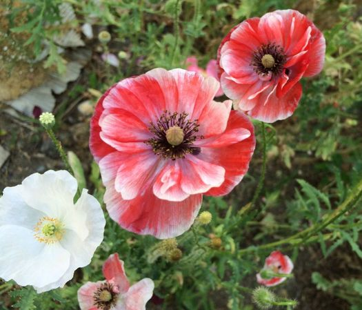 Flower Scout 2016-July poppies