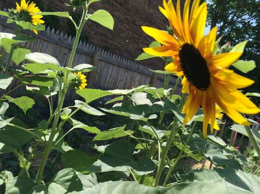 Flower Scout 2016-July sunflowers