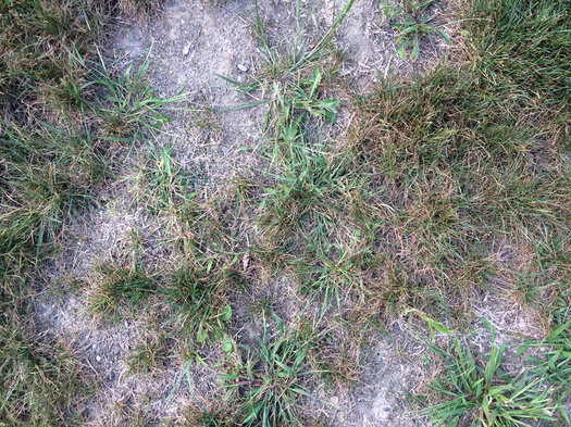 scraggly parched lawn