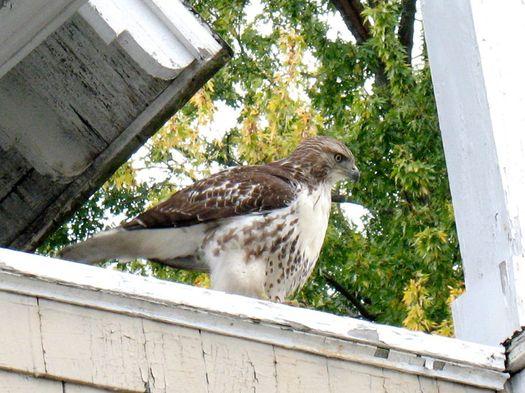 Myrtle Ave hawk