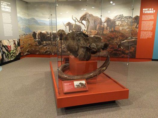 NYS Museum Ice Ages exhibit Columbian Mammoth skull