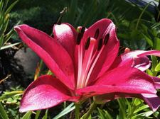 asiatic lily closeup