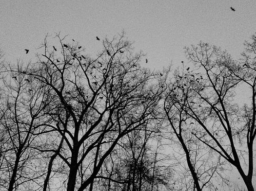 crows tree tops bw